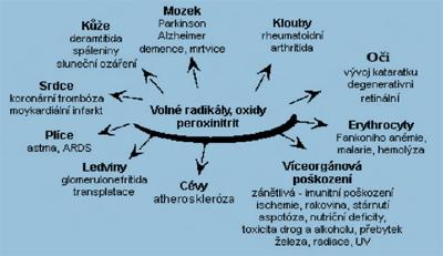 Nepříznivé účinky volných radikálů vlidském organismu